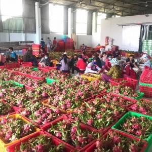 Chuẩn bị xuất khẩu thanh long tại nhà máy đóng gói trái cây xuất khẩu